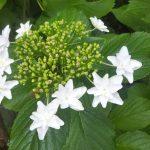 ガクアジサイ【隅田の花火】の開花 先始めは真っ白