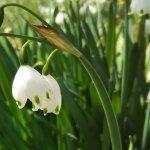 スノーフレークの開花