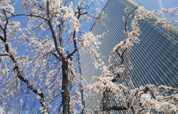 赤坂サカスのシンボルツリー【三春桜】