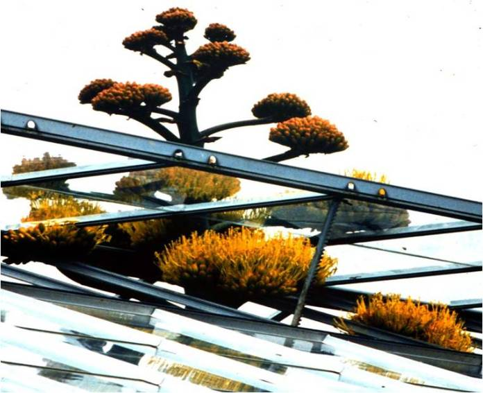 Agave americana growing through greenhouse roof in Leicester Botanic Gardens