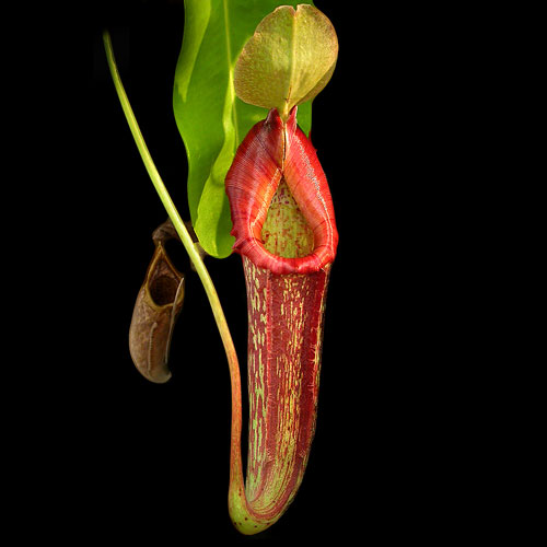 Life in a place of death? Pitcher plants as habitat « Botany One