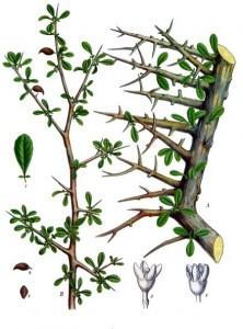 Myrrh  Image: Franz Eugen Köhler, Köhler's Medizinal-Pflanzen, 1887.
