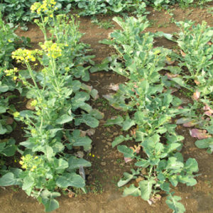 QTLs for seed yield under different P supply