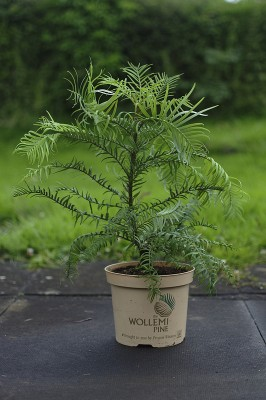 Wollemia Nobilis in a small pot