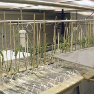 Modelling dry mass partitioning in diseased wheat