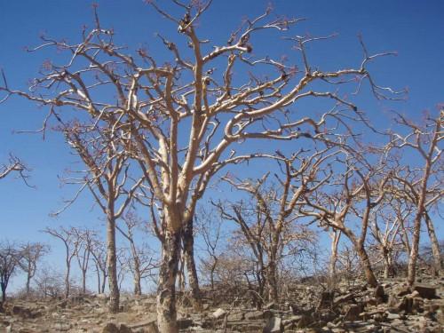 Boswellia Trees
