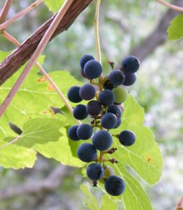 Prediction of seed germination time for wild grapevine