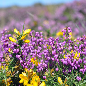Biodiversity and conservation of heathlands (Invited Review)