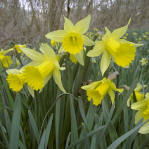 Post-shedding seed development in Galanthus and Narcissus