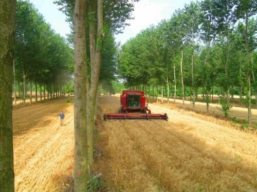 Barley under poplars