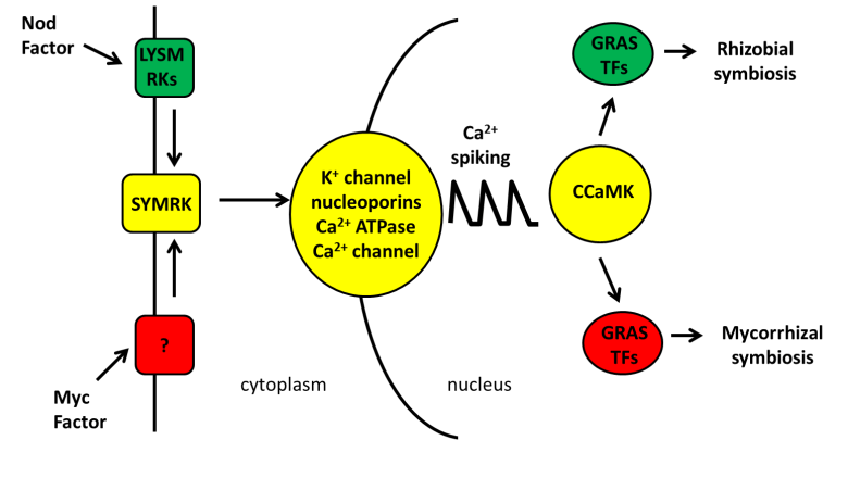 Common Sym pathway diagram