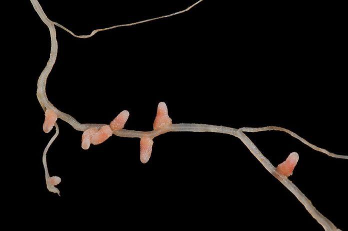 Medicago truncatula root with nodules infected with Nitrogen-fixing rhizobia.