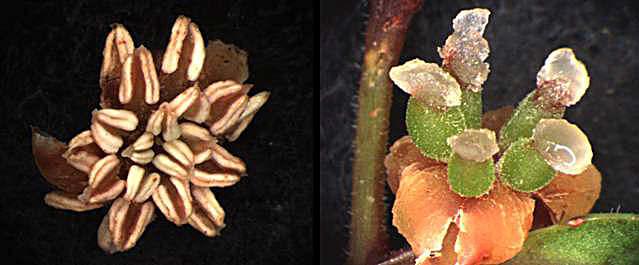 Male (left) and female (right) flowers of Amborella trichopoda,