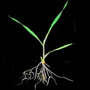 Developmental changes in root hydraulics (Research in Context)