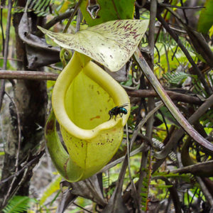 Fluid properties influence diet in <i>Nepenthes</i> pitcher plants