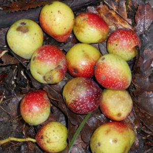 High molecular diversity in rare European <i>Sorbus domestica </i>