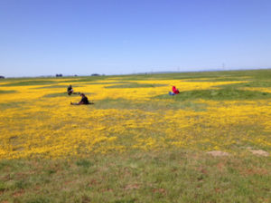 Due to seasonal inundation, these vernal pools (yellow) in central California have harsher conditions than the surrounding grassland matrix. Virtually all of the plants in the grassland are non-native invasive species, while the pools are largely devoid of non-natives.  Photo credit: Truman Young, UC Davis.