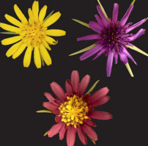 Tragopogon pratensis (left), T. porrifolius (right) and the hybrid (middle) from London. (Image credit: A. Matthews, K. Emelianova, R. Buggs).