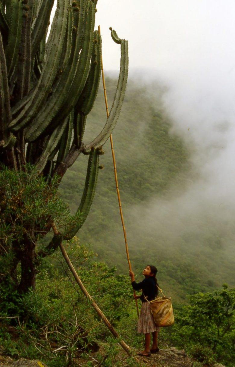 Harvest of Gray Ghost Organ Pipe cactus, Pitaya de Mayo
