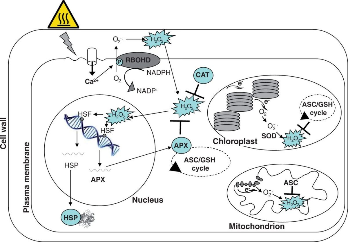 Role Of Redox Homeostasis In Thermo Tolerance Review Botany One