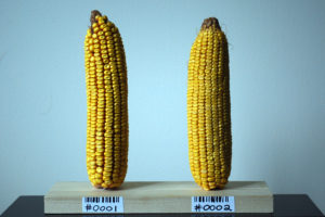Biofortfied's corn cobs.