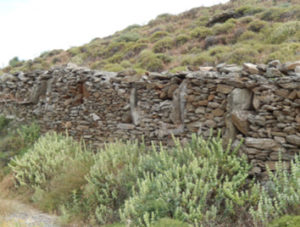 Ballota acetabulosa growing at the foot of an old terrace in Kythnos Island, Greece (photo by T. Petanidou)