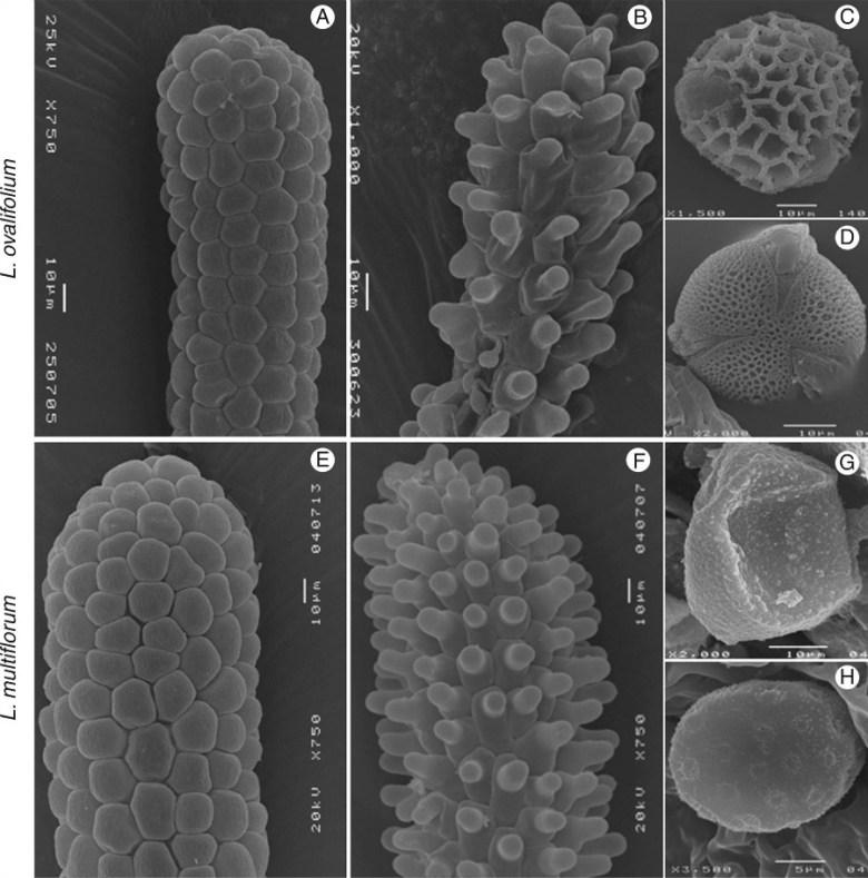 Scanning electron microscope photographs of Limonium ovalifolium and L. multiflorum stigmas and pollen grains.