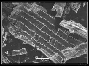 Phytoliths