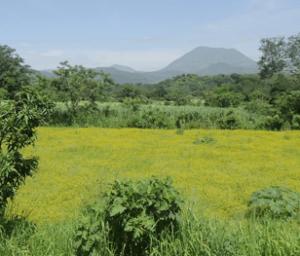 A fallow field covered with Melampodium divaricatum, near the volcano Ceboruco in Nayarit, Mexico (Photo: A. M. Hanan-Alipi)