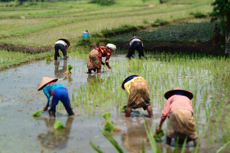 Rice paddy, Lombok, Indonesia.