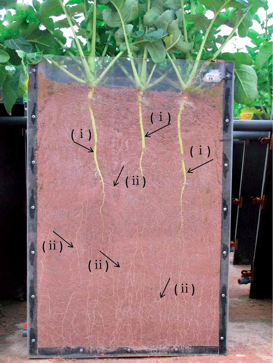 Brassica roots