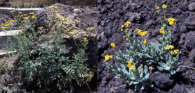 Pictures from Mount Etna, Italy, showing Senecio chrysanthemifolius at <1000 m.a.s. (left panel) and S. aethnensis at >2000 m.a.s. (right panel).