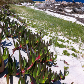 This picture shows the invasion of Carpobrotus clones in a coastal sand dune.