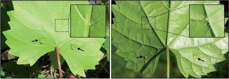 Vitis munsoniana (left) and V. riparia (right) leaves with foliar sugar solution treatments
