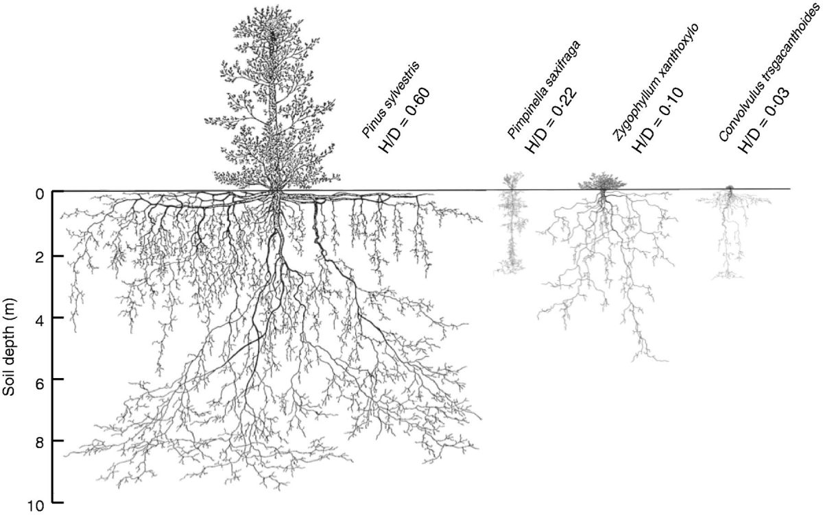 Deep Roots And Their Functions In Ecosystems  U00ab Botany One