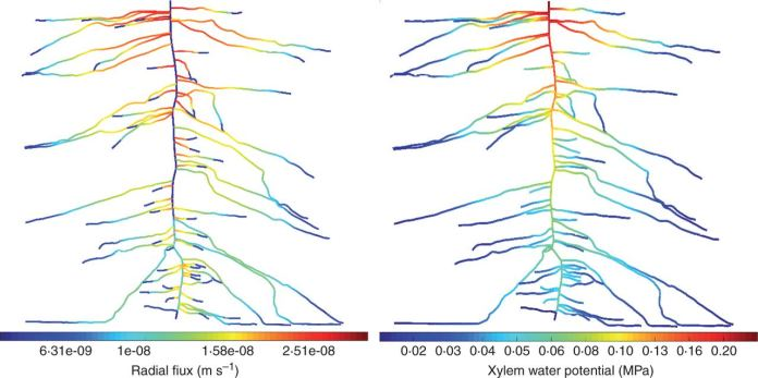 Radial fluxes (m s–1) (left) and (minus) absolute xylem water potential (MPa) (right) along a 3-week-old root system of lupine simulated in scenario 2.