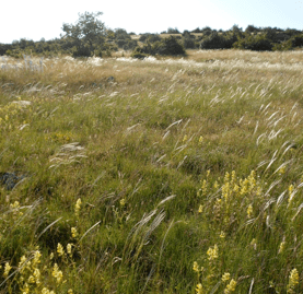 Permanent rangeland grazed by sheep flock at the La Fage research station (Larzac Causse, France) in June 2013. (Photo credit: Iris Bumb).