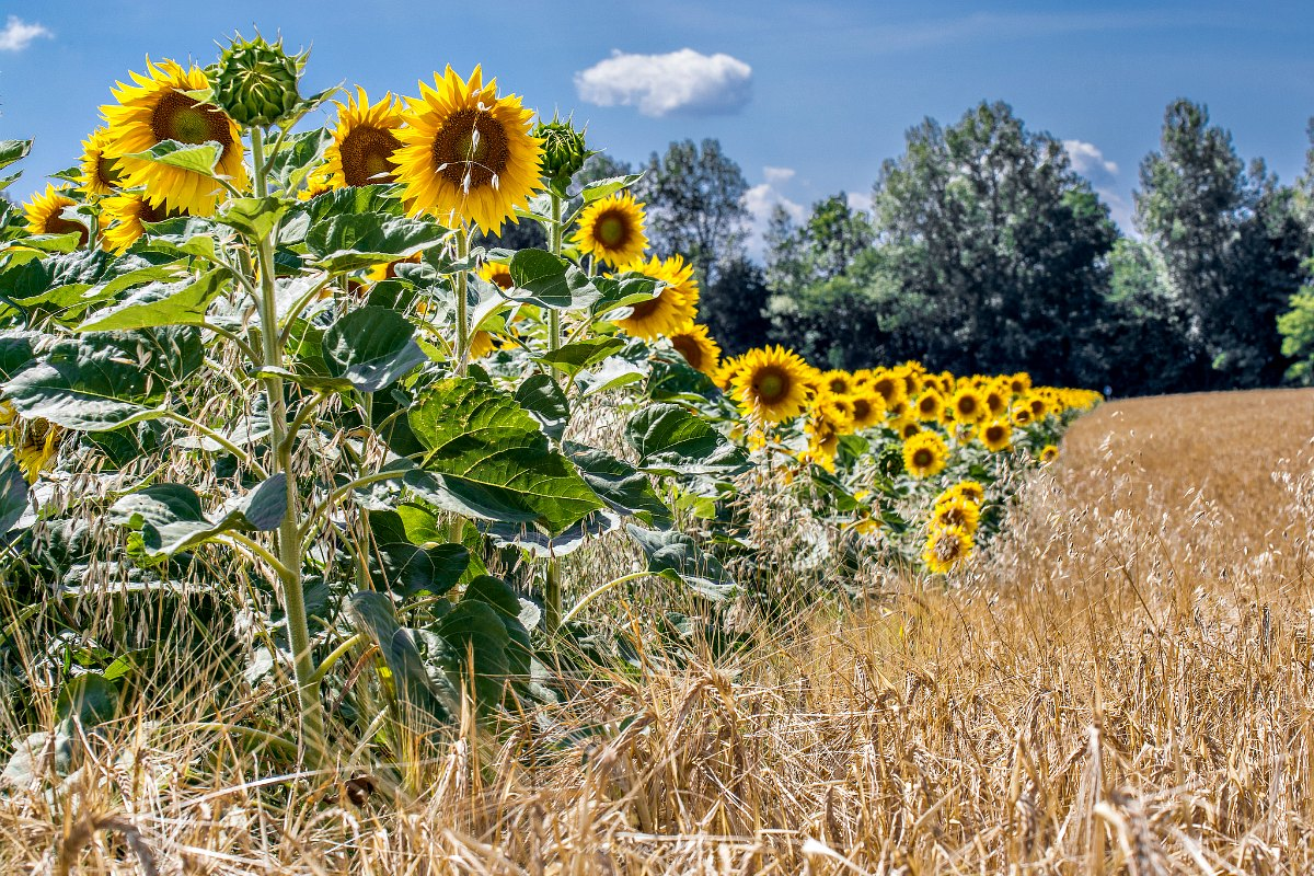 4 Reasons Sunflowers Face The Sun Botany One