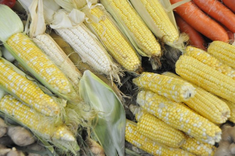 Corn-on-the-cob: the best known form we eat, but actually a tiny part of the world total production. Here we see some cobs of inbred lines with white and yellow kernels and their F2 hybrid segregating 3:1 yellow to white kernels. The colour actually represents the next generation of the plant so they do not need to be grown out to score genetic ratios.