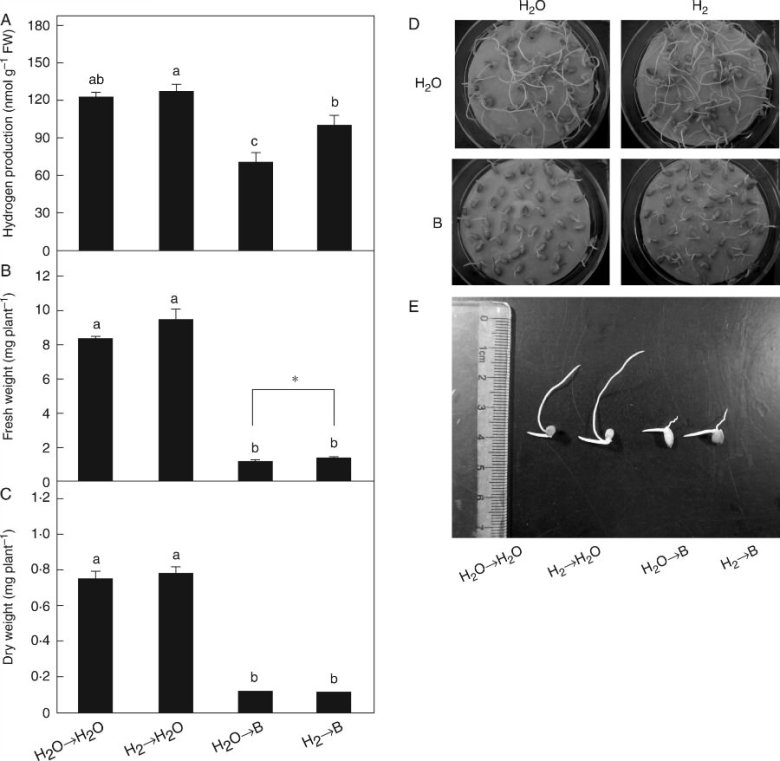 Changes in endogenous H2 production and the alleviation of growth inhibition induced by excess boron mediated by H2.