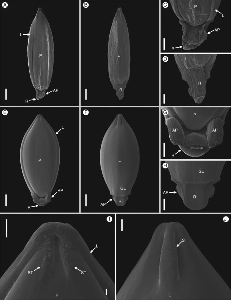 Scanning electron microscopy (SEM) images of the upper floret of Chasechloa madagascariensis (Vorontsova et al. 1822).