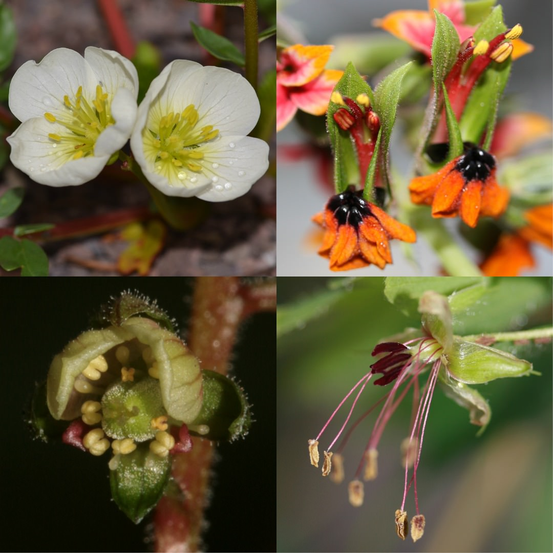 Floral morphology and anatomy of Ophiocaryon, a paedomorphic genus ...