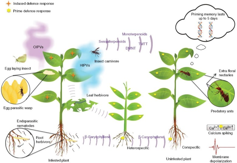 Overview of terpenoids in plant defence against herbivorous insects.