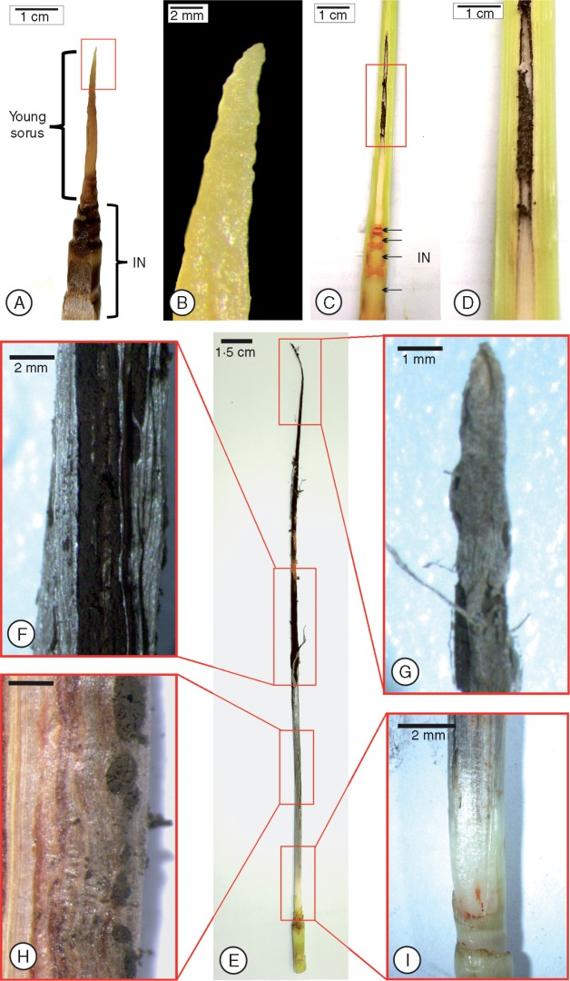Stages of soral development in the 'RB925345' sugarcane cultivar..