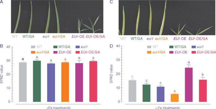 Effect of GA application on leaf chlorophyll of WT (ZS 97), eui1 and EUI-OE plants grown under Fe-sufficient and Fe-deficient conditions.