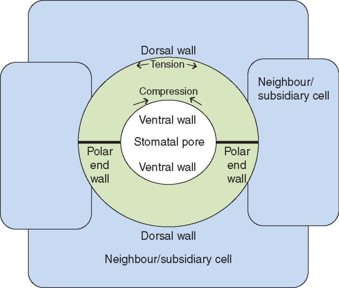 Schematic representation of a stomatal complex.