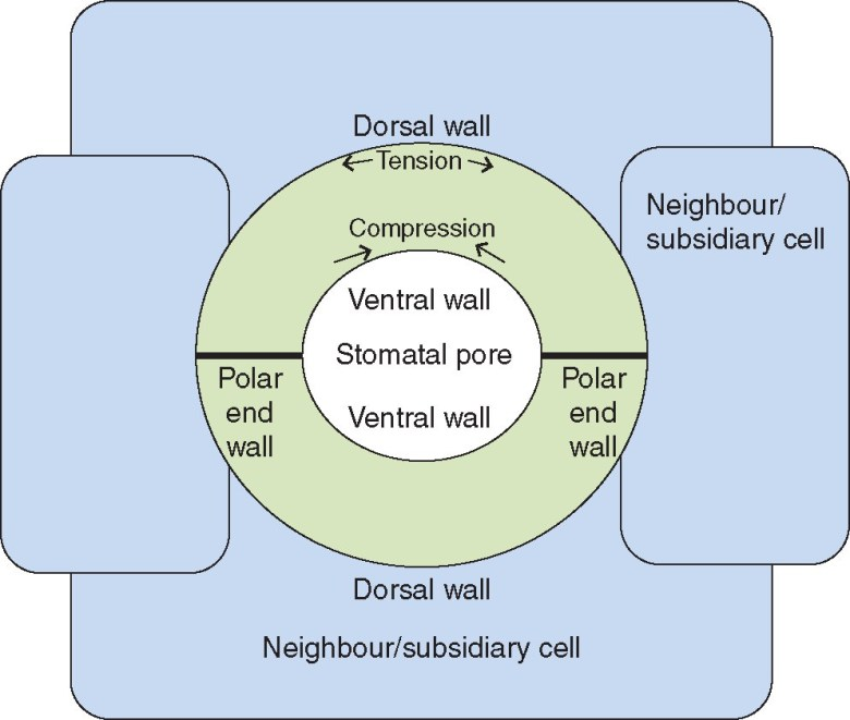 Schematic representation of a stomatal complex.
