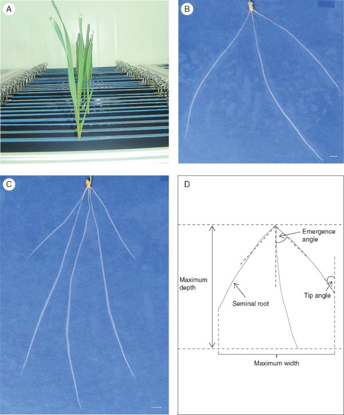 Root phenotyping pipeline for the Forno × Oberkulmer mapping population grown in a growth chamber during 2014