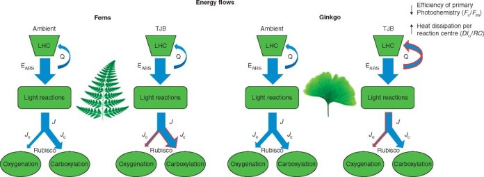 Schematic model depicting the changes in the energy flows of Ginkgo and ferns when acclimated to TJB atmospheric conditions.