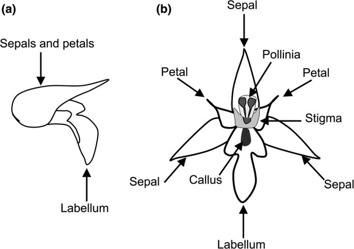 Drawing of a whole, with petals, sepals, and hypochile (the proximal part of the lip) forming a hood (a) and partitioned (b) flower of a Serapias species